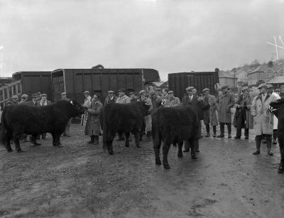 Welsh Blacks Cattle Sale and Show at Dolgellau