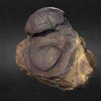 Bumastus xestos Lane & Thomas, 1978 - Holotype
