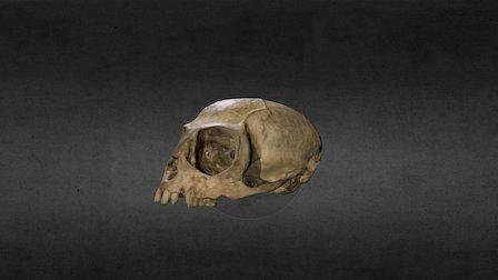 Marmoset Skull
