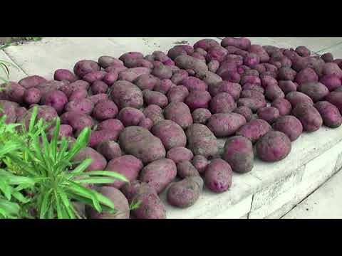 Gardening, potatoes grown in raised beds