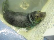 Rehabilitated Atlantic grey seal on Ramsey...