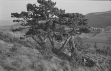 Pine tree near Abermad