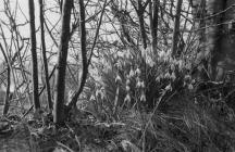 Snowdrops at Caerwedros