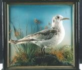 Seagull: taxidermy by J. Hutchings of...