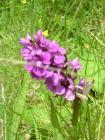 24. Marsh orchid
