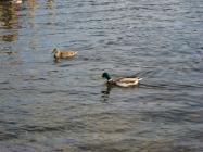 Mallard ducks paddling in a lake