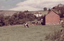 Llangollen. Cattle in the field and Castell...