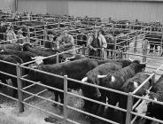 Welsh Black Cattle Sale at Dolgellau, 26 March...