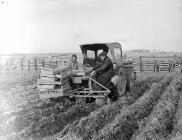 Planting potatoes at Ystad Llanfarian, near...