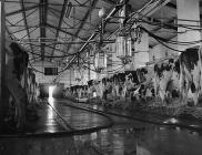 Milking at Ystad Llanfarian, near Bodorgan,  31...
