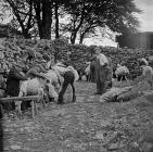 Shearing for the last time at Capel Celyn, July...