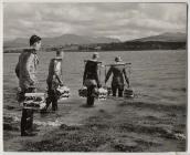 Tyfu wystrys yn Afon Menai, 1960au