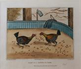 Cockfighting Prints: Plate 2, 'Getting to...