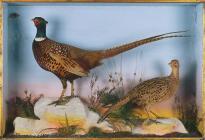 Pheasants: taxidermy, c. 1910