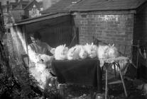Photograph of Ms? Thomas and her rabbits,...