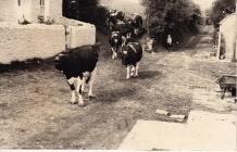 Cattle on their way to the byre for milking,...