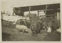 Pengarn farm, Alltwalis