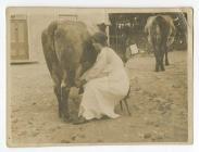 Annie milking at Bryn Cerdin farm, Ffostraol c...