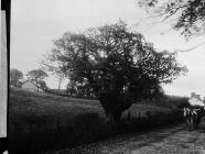 Oak at Llwynrhydowen, where Davis Castellhywel...
