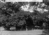 trees (three sisters), Bachymbyd Hall, Llanynys