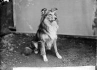 Collie dog (Dr Williams)
