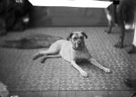 Mastiff (Goodall)
