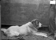 St Bernard dog (Clifford)