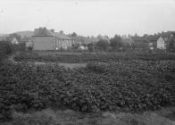 Potato patch near houses