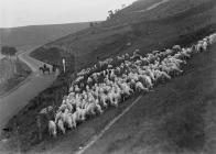 Men rounding sheep on horseback, Elan Valley