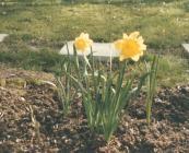 Daffodil yn yr ardd yng ngwanwyn 1988