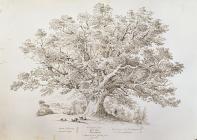 Caeryder Oak, Glen Uske, Monmouthshire