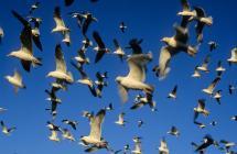Gull Feeding Frenzy – Skokholm Island