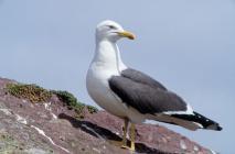 Lesser Black-backed Gull (Larus fuscus),...