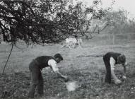 Cider apple picking