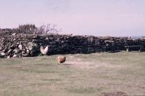Skokholm - Chickens near the Cottage garden...