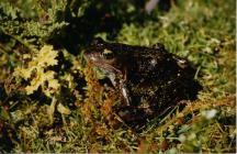 Skokholm Frog