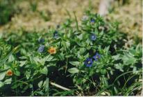 Blue Pimpernel close up