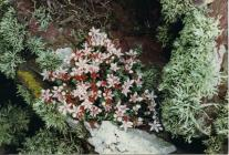 English Stonecrop on a Skokholm wall.