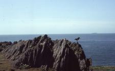 Oystercatcher at Little Bay, Skokholm Island 1982
