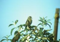 Skokholm - Crossbill in 1993