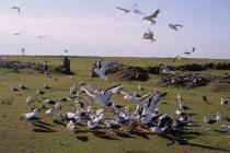 Skokholm - Gulls and kitchen scraps in 1994