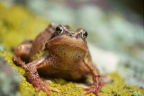 Skokholm - Common Frog