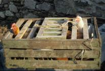 """Skokholm - """"Crated Chickens"""""""