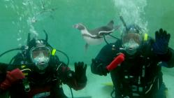 Diving with Penguins