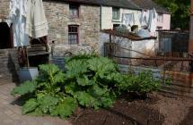 Rhubarb growing in Rhyd-y-car