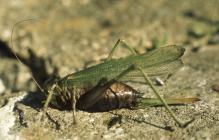 Pembrey: Invertebrate & Odonata