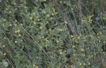 Ferndale, Rhondda: Plant/tree & Juncus effusus