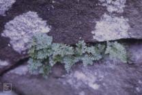 Ferndale, Rhondda: Plant/tree