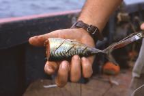 Razor shells for bait