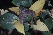 Llanishen, Cardiff: Invertebrate & Lepidoptera